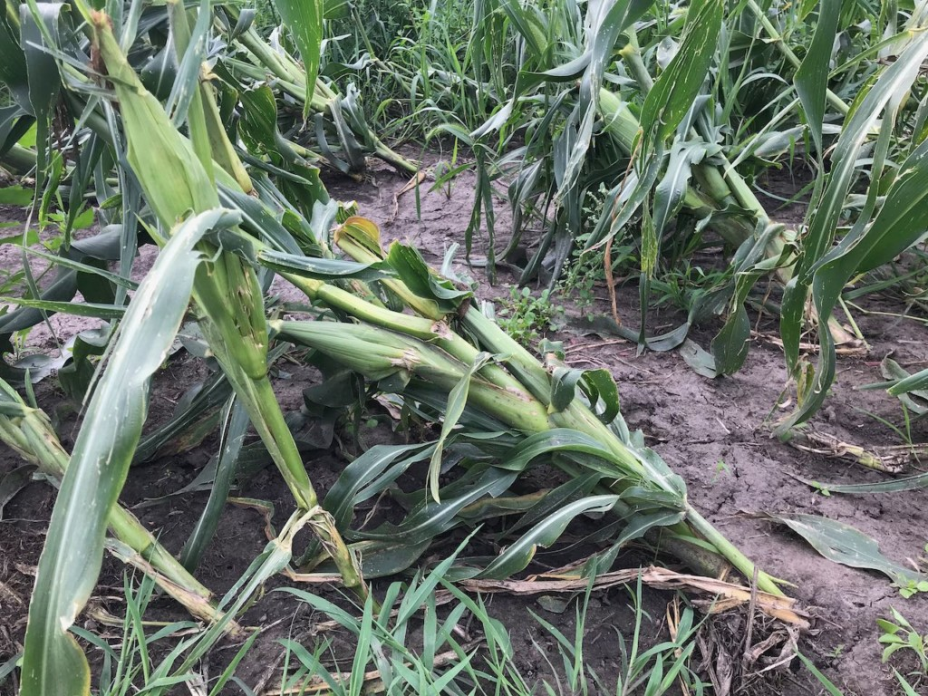 One distressed corn stalk